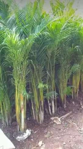 Jual pohon palm kuning