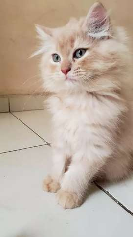 Pure beautiful kitten for selling