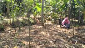 tanah 425m2 udah ada pohon laba kurang lebih 25 pohon rata2 umur 2thn.