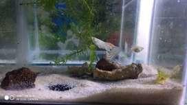 Ikan Guppy pasangan