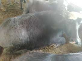 Buffalo for sale demand 130000