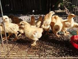 Anakan ayam brahma