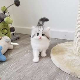 All type Persian kitten cat available
