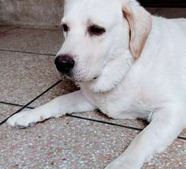 Labrador male royal blood line healthy and vaccinated