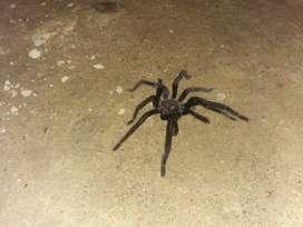 Spider black colossus
