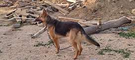 German Shepherd Male