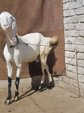 Beautiful goat bakri for Sale dood wali