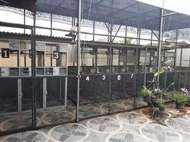 Perkutut Bangkok dan puter pelung