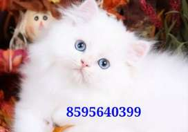 Snowball Persian Kittens and Cats Available
