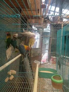 Jual Burung Love Bird 8 Ekor