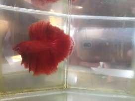 Ikan cupang hias HM SUPER RED