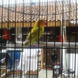 jual lovebird pasjo
