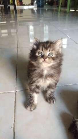 Kucing kitten norwegia