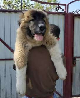 Caucasian shepherd Imported puppies available from champion line