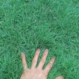 Jual rumput jepang