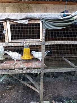 Jual Burung Merpati King Jumbo