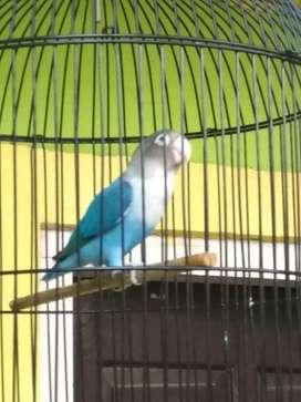 Lovebird mangsi mapan fighter