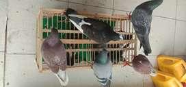 Burung 5 pasang merpati dari jawa