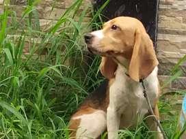 Beagle puppies stb vaksin