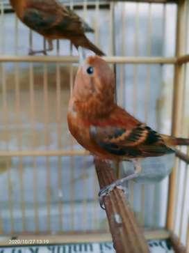 Burung hybrid hasil crosing red siskin klasik x kenari blackred