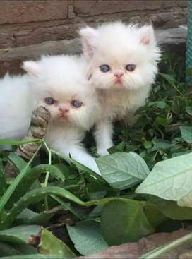 DeCent and Quality kittens