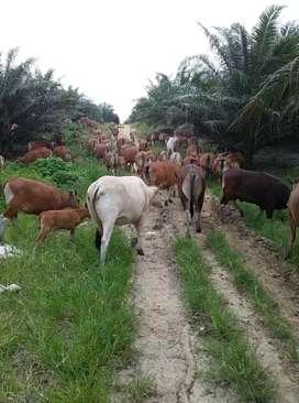 Makanan dr kambing domba sapi join mitra kerjasama aqikah anak