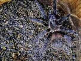 Tarantula Tliltocatl Albopilosum