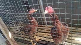 Ayam Bangkok dan ayam kampung