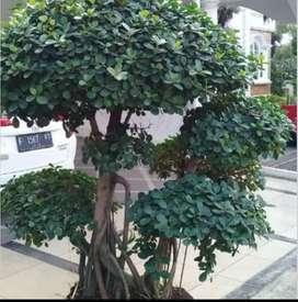 Pohon bonsai beringin korea - bonsai beringin korea