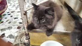 Cats for sale Maine Coon and Russian blue
