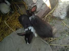 3 black eye bunnies 2 month