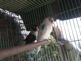 Lovebird spasang betmen x bs
