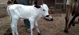 Cow Frizin crass baby for sale