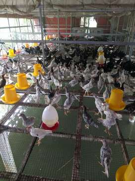 Ayam kampung asli kiloan bukan joper