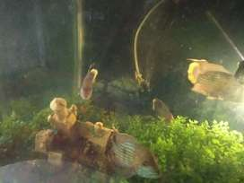 4 Feet acquarium with 18 Green terror