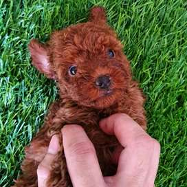 red poodle best quality