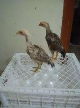 Anakan Ayam Brazil Super Calon Jawara