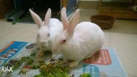 Beautiful Red Eyes White Breeder Rabbits sale