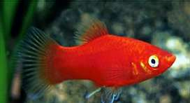 Red molly fish,shorwd fish available for sell