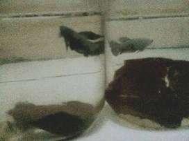 Ikan cupang black samurai sepasang
