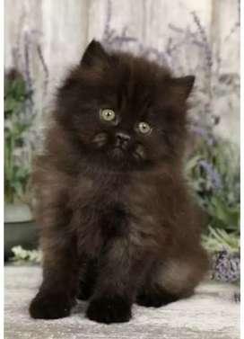Black persian kitten for sale