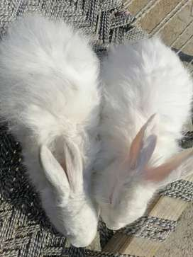 Gaint angora rabbits adult ready to breed male price per piece h
