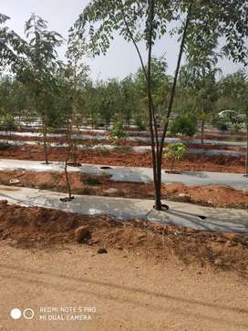 My City DTCP plot's with plantation for sale at bachannapet