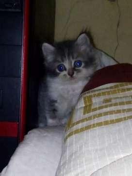 Jual kitten umur 2bln