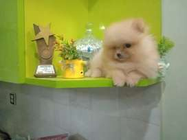 T-cup Pomeranian puppy available