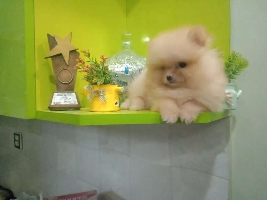 T-cup Pomeranian puppy available 0