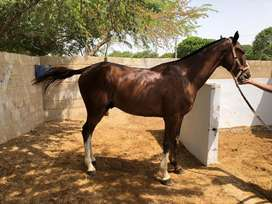 Mix Breed (Thoro +Desi) Horse for Sale