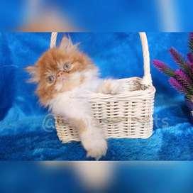 Kucing persia peaknose murmer