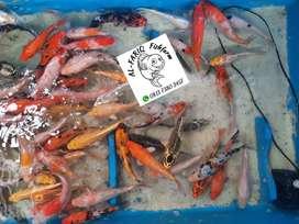 Ikan KOI lokal kualitas handal