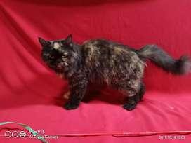 Kucing persia indukan flatnose proven